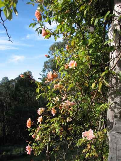 crepuscular rose