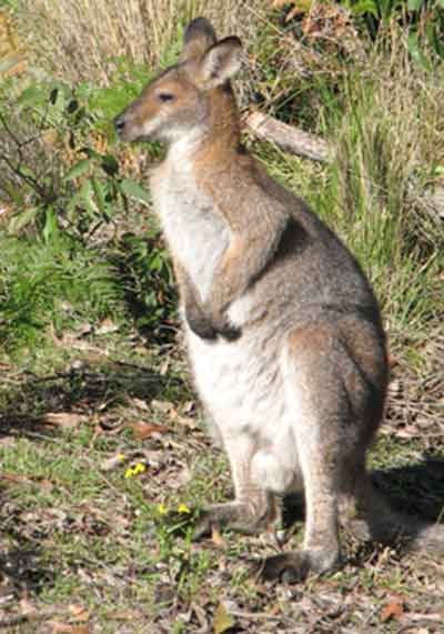 wallaby1.jpg