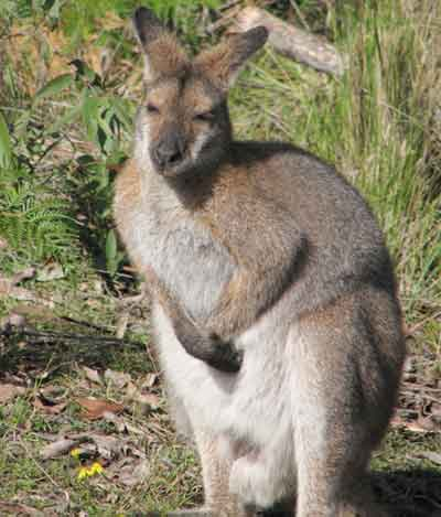 wallaby3.jpg