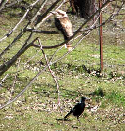 kookaburra magpie