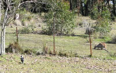kookaburra wallaby