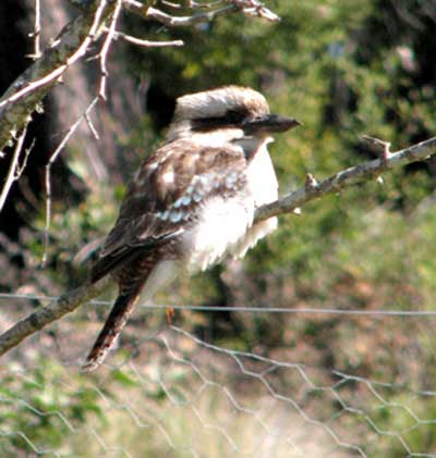 Kookaburra winter