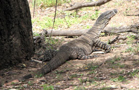 goanna three