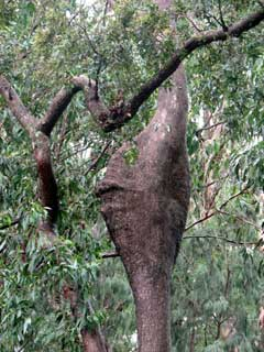 angophora growth