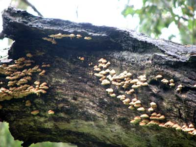 fungoid colony