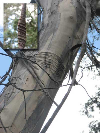 bark scar
