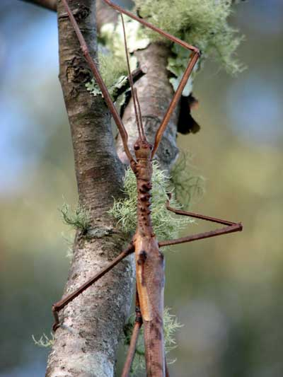 stick insect 2