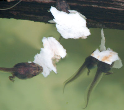 tadpoles eating