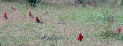 rosellas on lawn