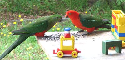 king-parrot-1