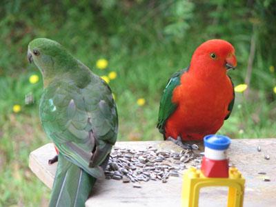king-parrot-2