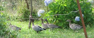 duck-family-1