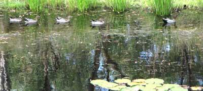 duck-family-3