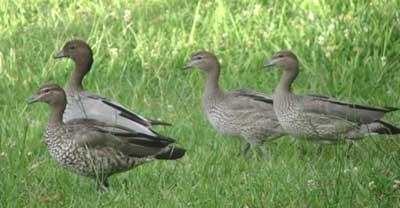 duck-family-4
