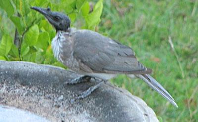 friar-bird