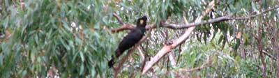 black-cockatoo1