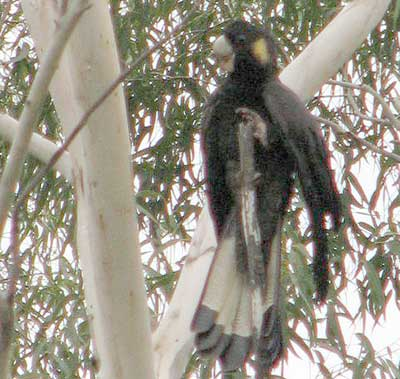 black-cockatoo2