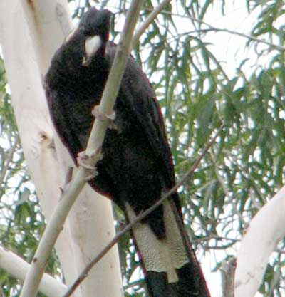 black-cockatoo3