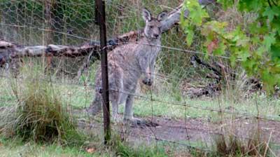 kangaroo-grey