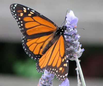 wanderer-butterfly