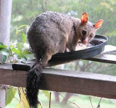 day-possum2