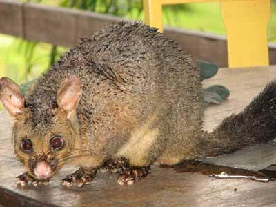 day-possum3