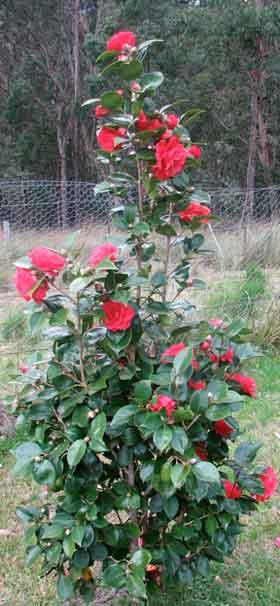camellia-1-280