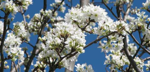 blossoms-2
