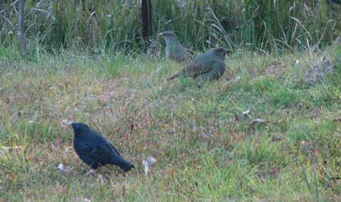 bowerbird-1