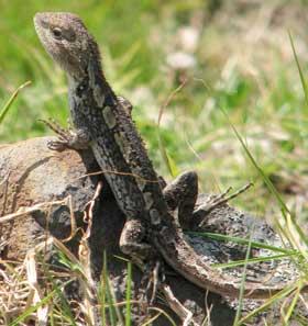 jacky-lizard