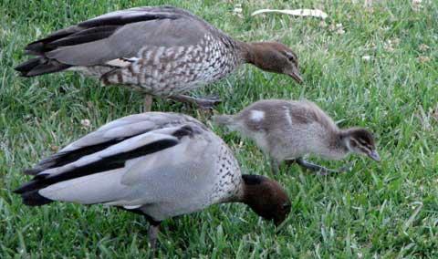 last-duckling-1