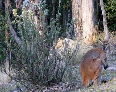 wallaby-winter-3