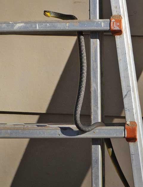 laddersnake-2